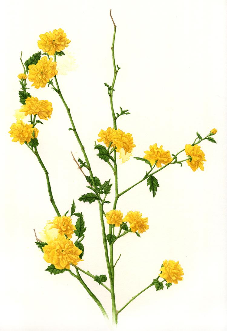 "K. japonica 'Pleniflora'... a.k.a. ""Happy Flower Shrub""."