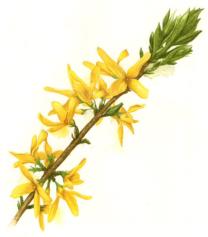 Forsythia Botanical Watercolour