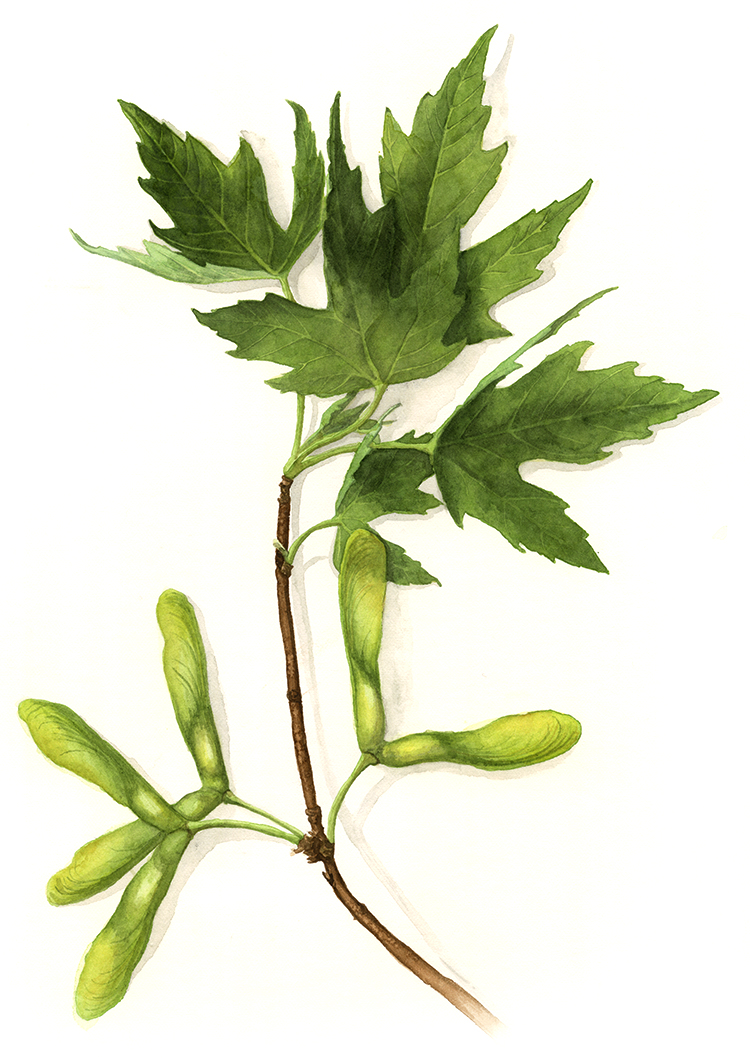 Amanda Farquharson Sugar Maple Botanical Watercolour.jpg