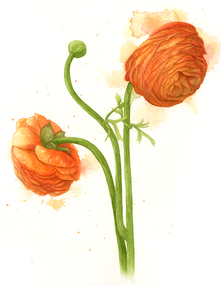 Ranunculus watercolour.jpg
