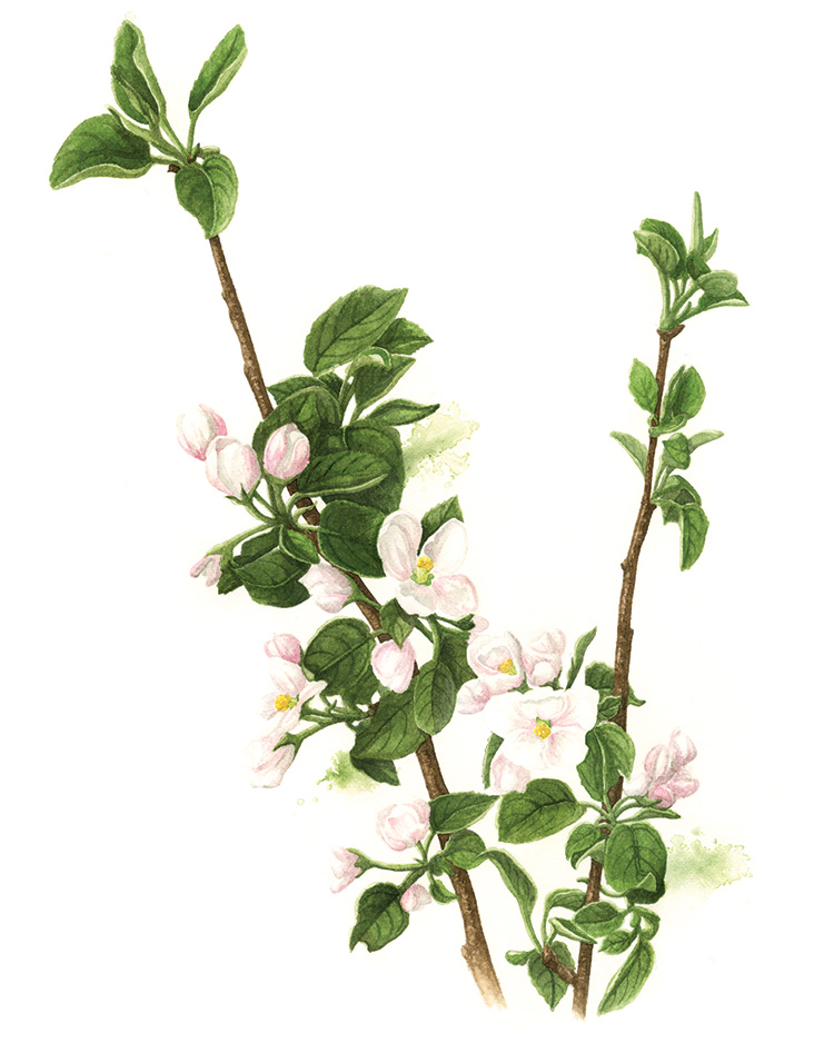 Apple Blossom Botanical Watercolour