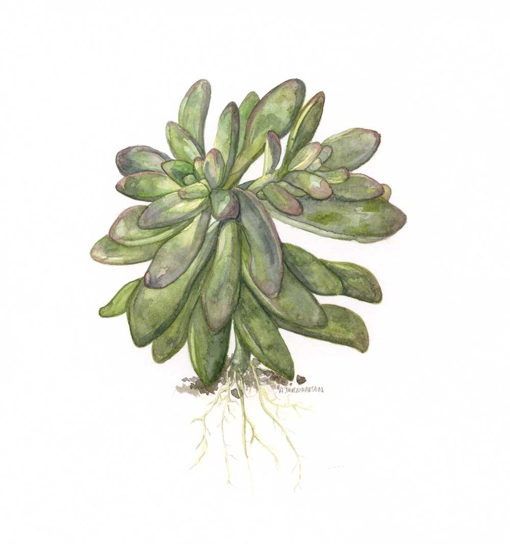 Echeveria-Botanical-Painting-March-2017.jpg
