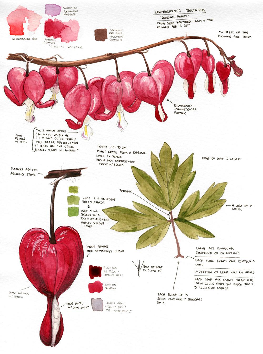 Bleeding Heart (Lamprocapnos Spectabilis) from our backyard