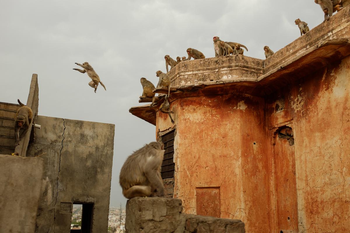 Flying macaques / Jaipur, India / May 2014