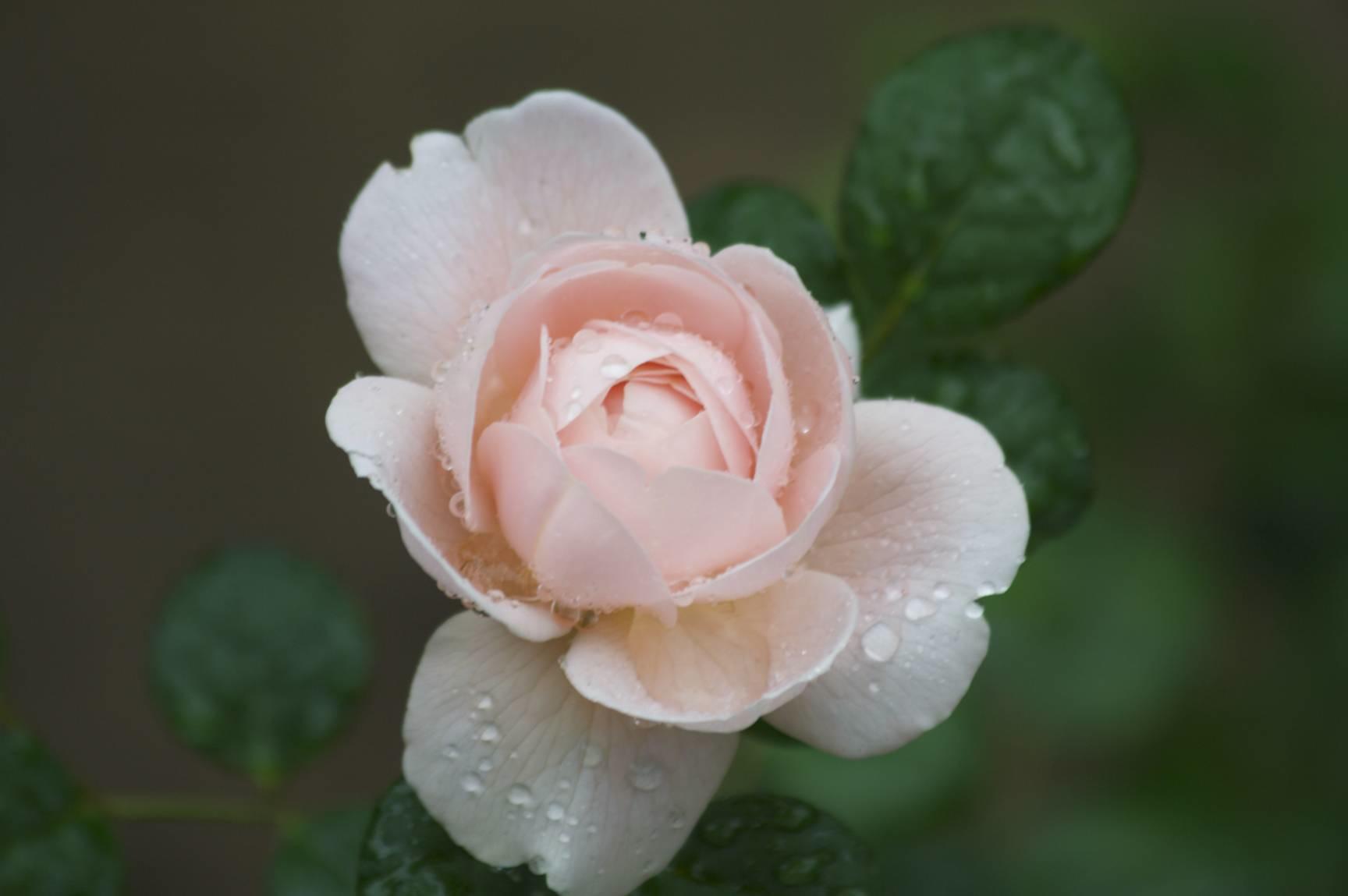 rose-yaddo1.jpg