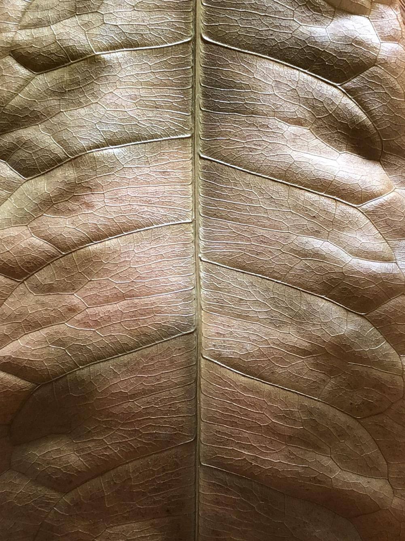 Detail of a monkey tree leaf (deceased). ©2017 Sean Walmsley;