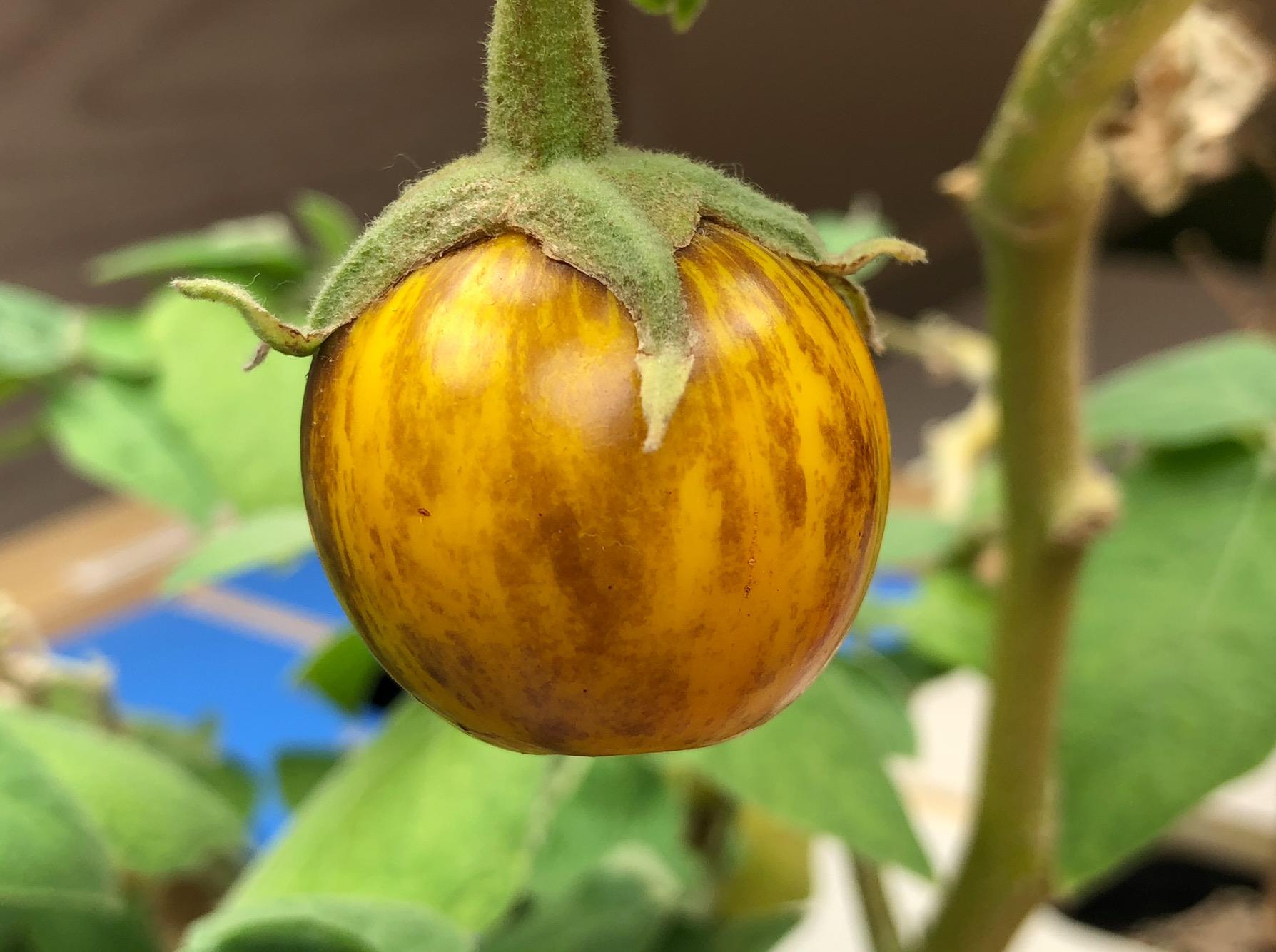 Eggplant growing indoors. Easthampton, MA. ©2017 sean walmsley