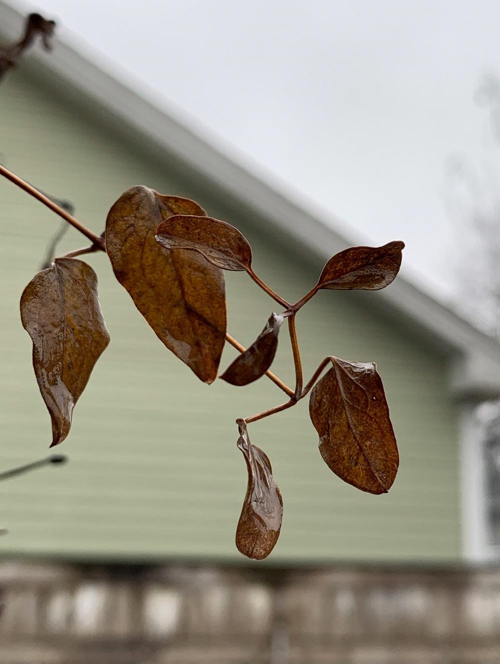 Clematis leaves in December ( iPhone XS). ©2018 Sean Walmsley