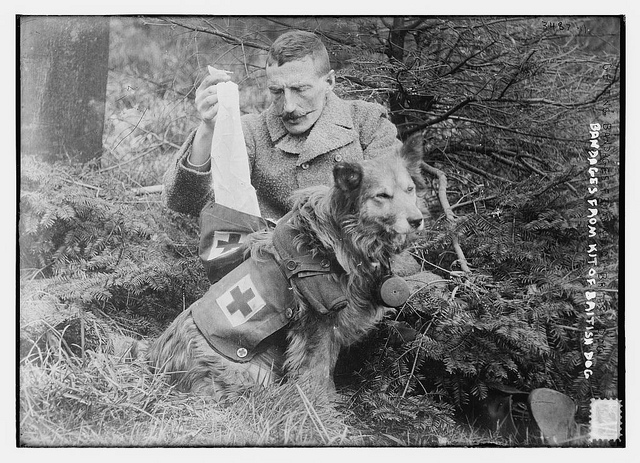 Retrieving bandages from the kit of a British dog, circa 1910 (via    The Library of Congress   )