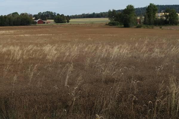 fields of flax