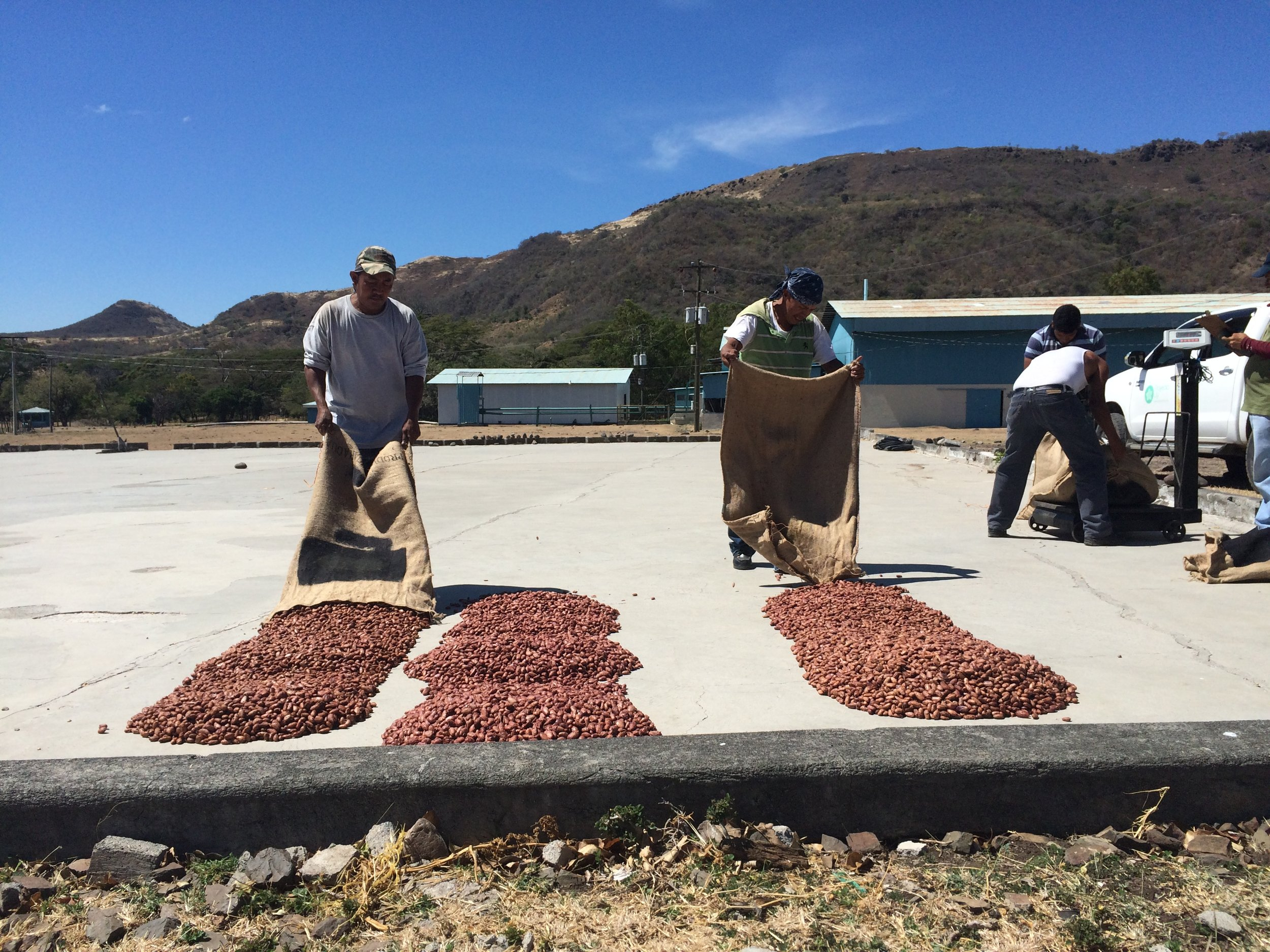 Drying the cacao in open air