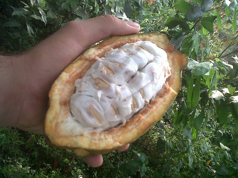 Fresh cacao seeds
