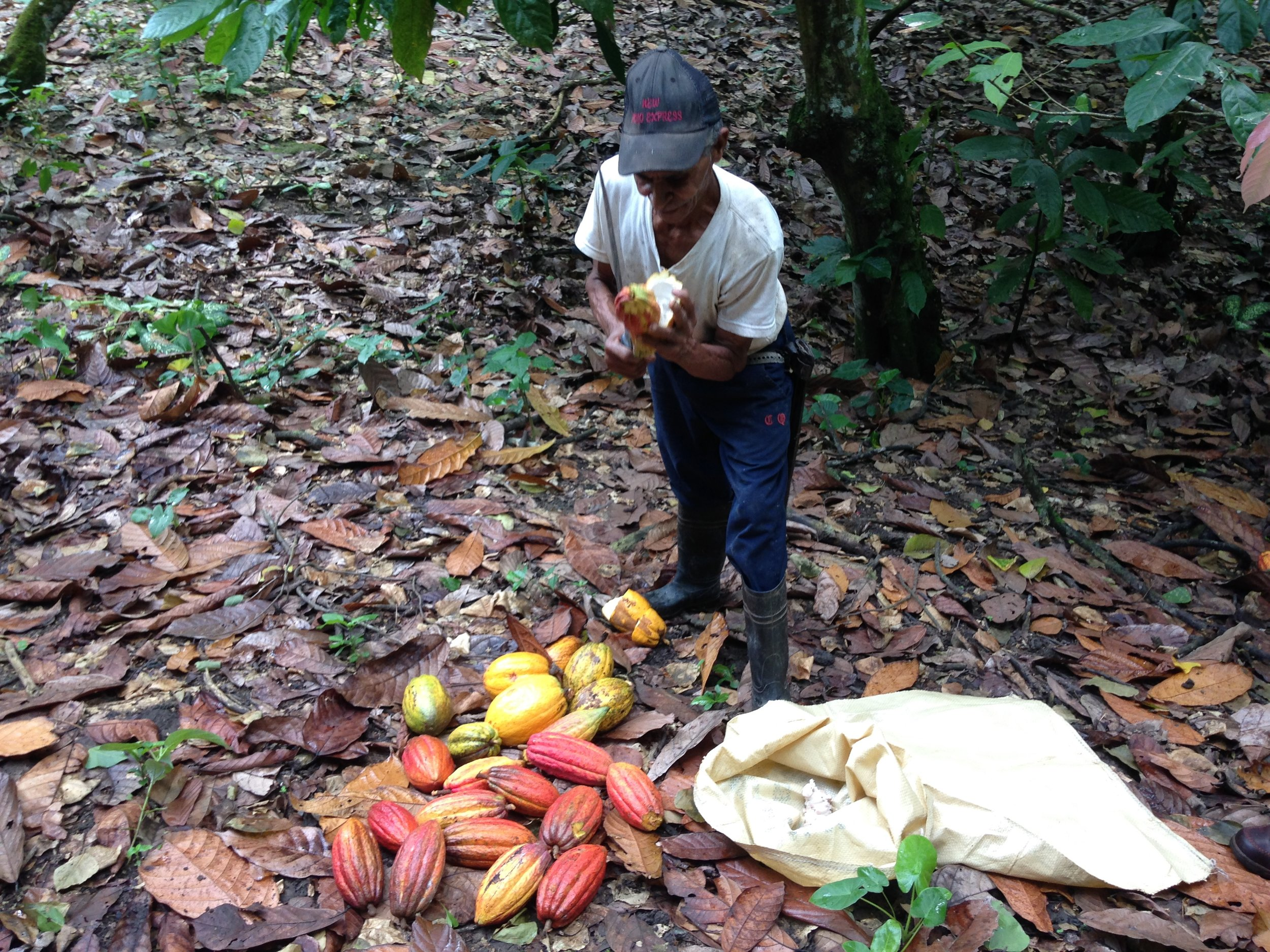 Collecting the wet cacao seeds