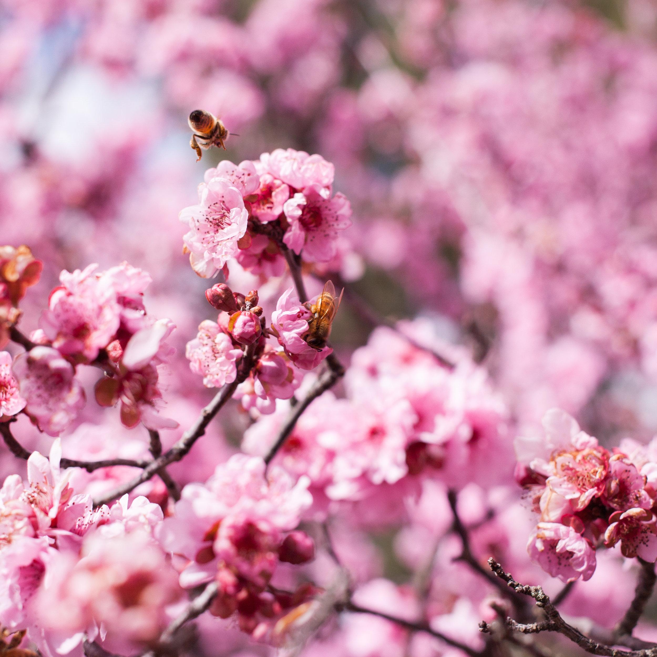 Cherry blossoms-84-2.jpg