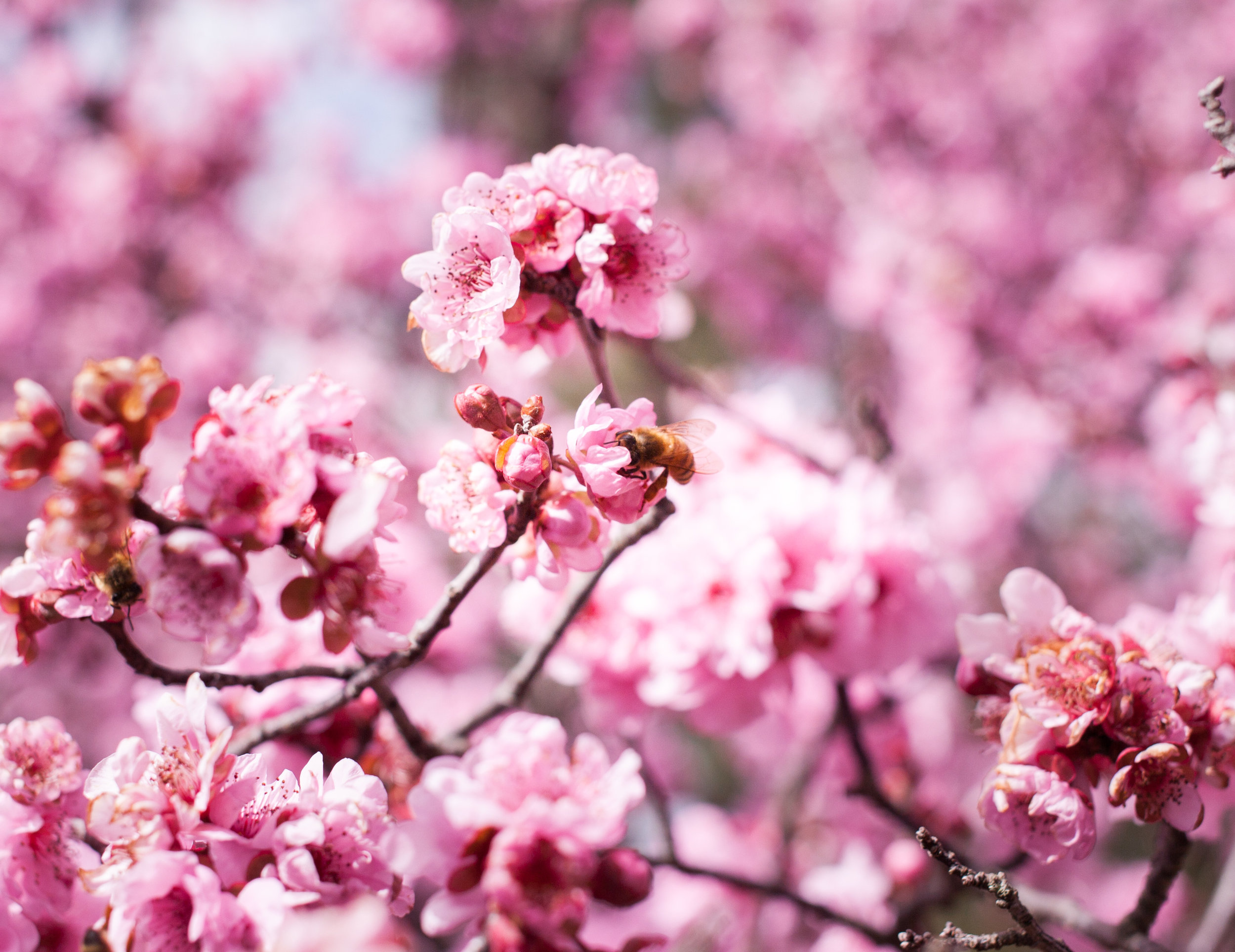 Cherry blossoms-80.jpg