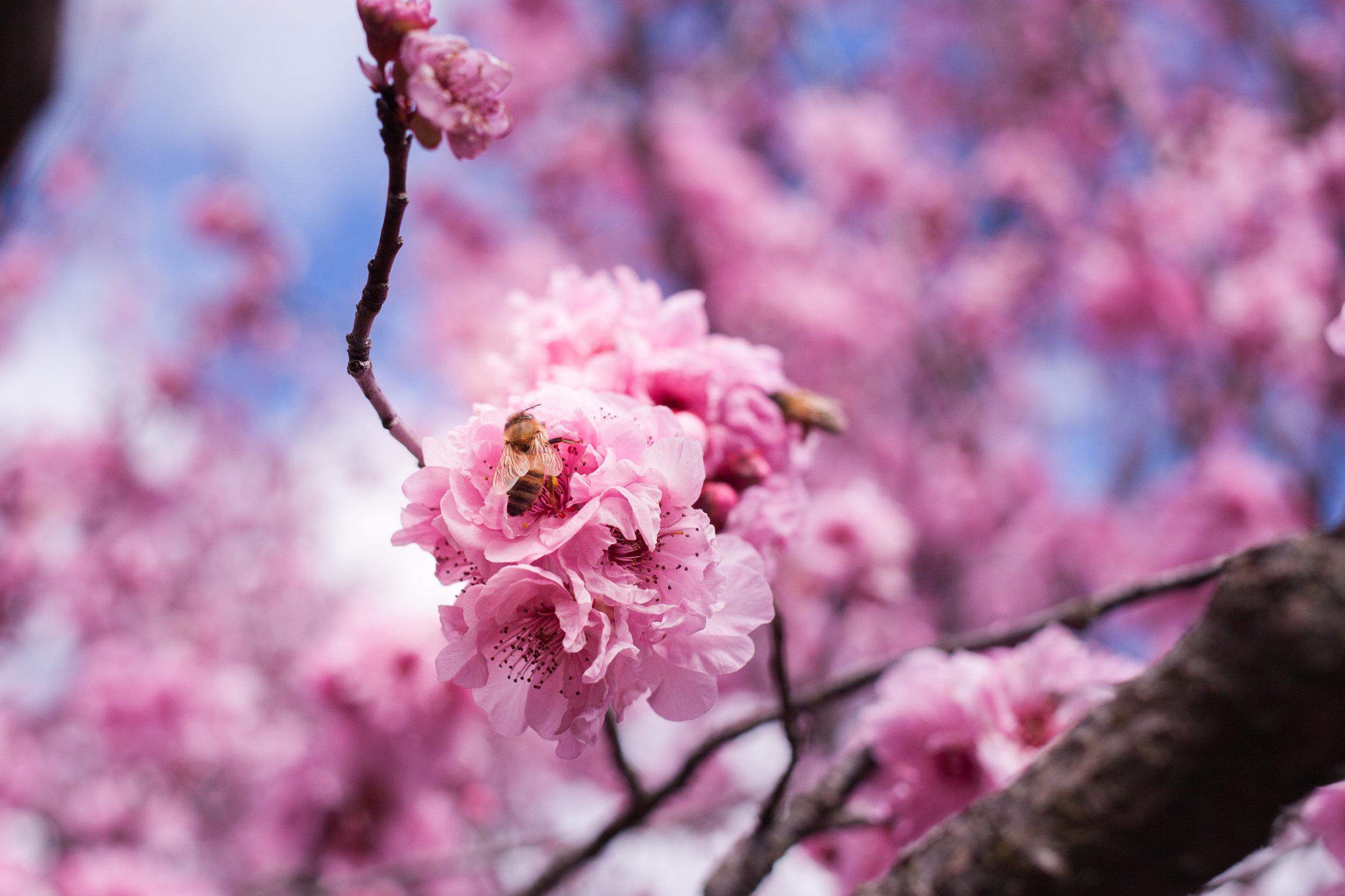 Cherry blossoms-76.jpg
