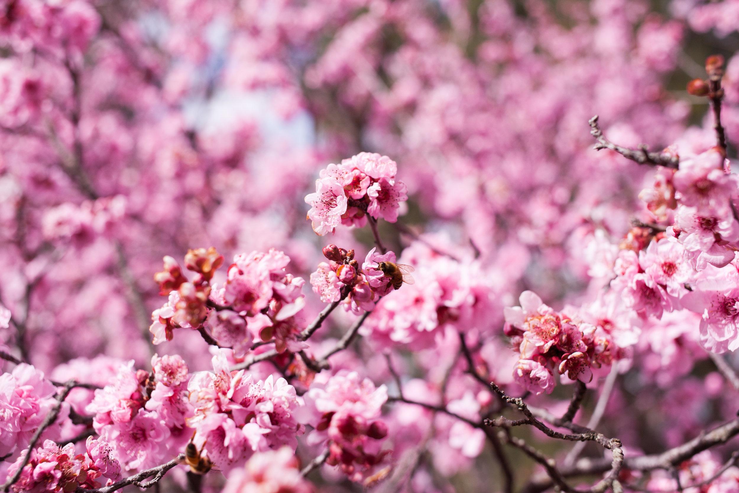 Cherry blossoms-79.jpg