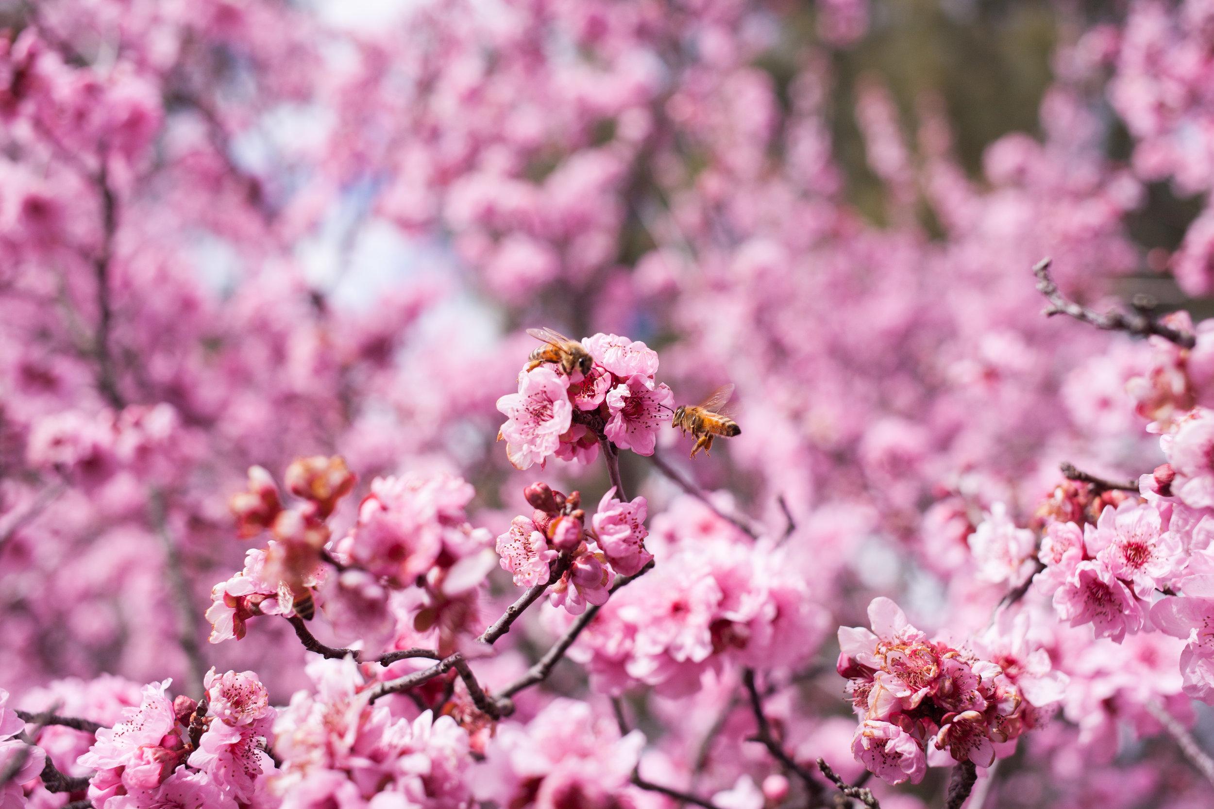 Cherry blossoms-89.jpg