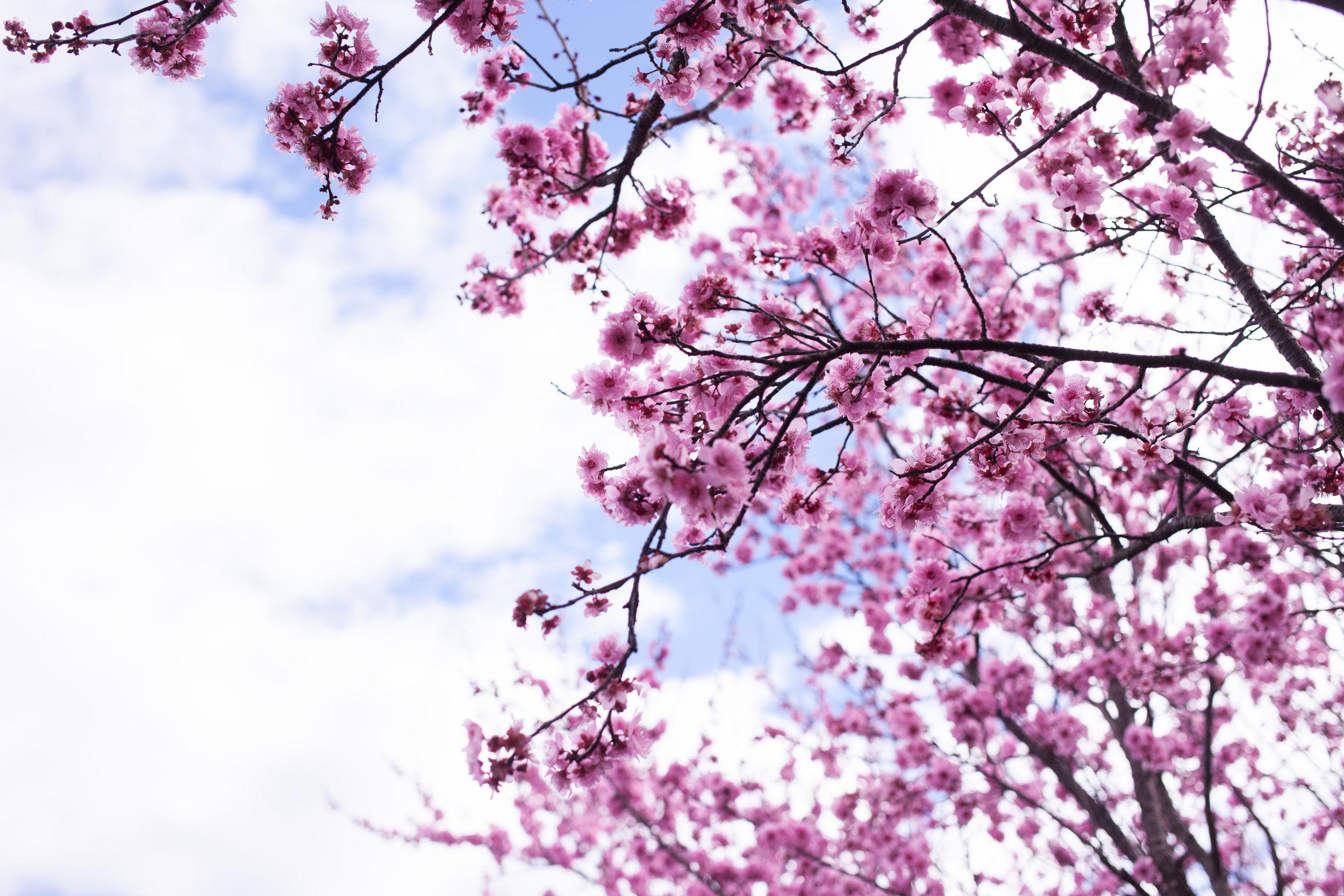 Cherry blossoms-106.jpg