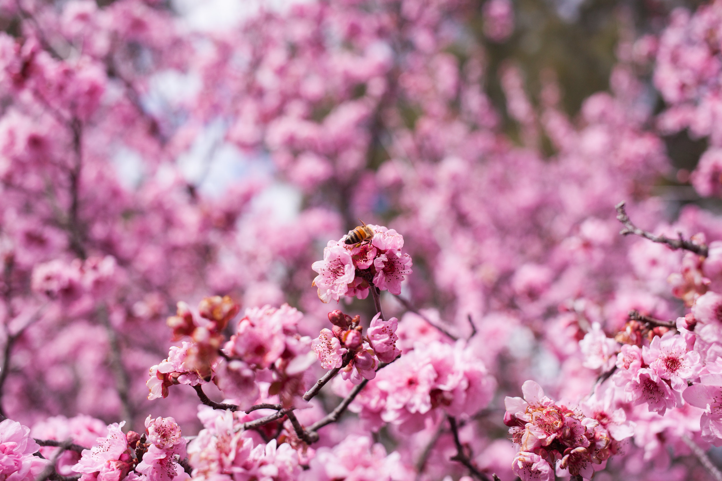 Cherry blossoms-91.jpg