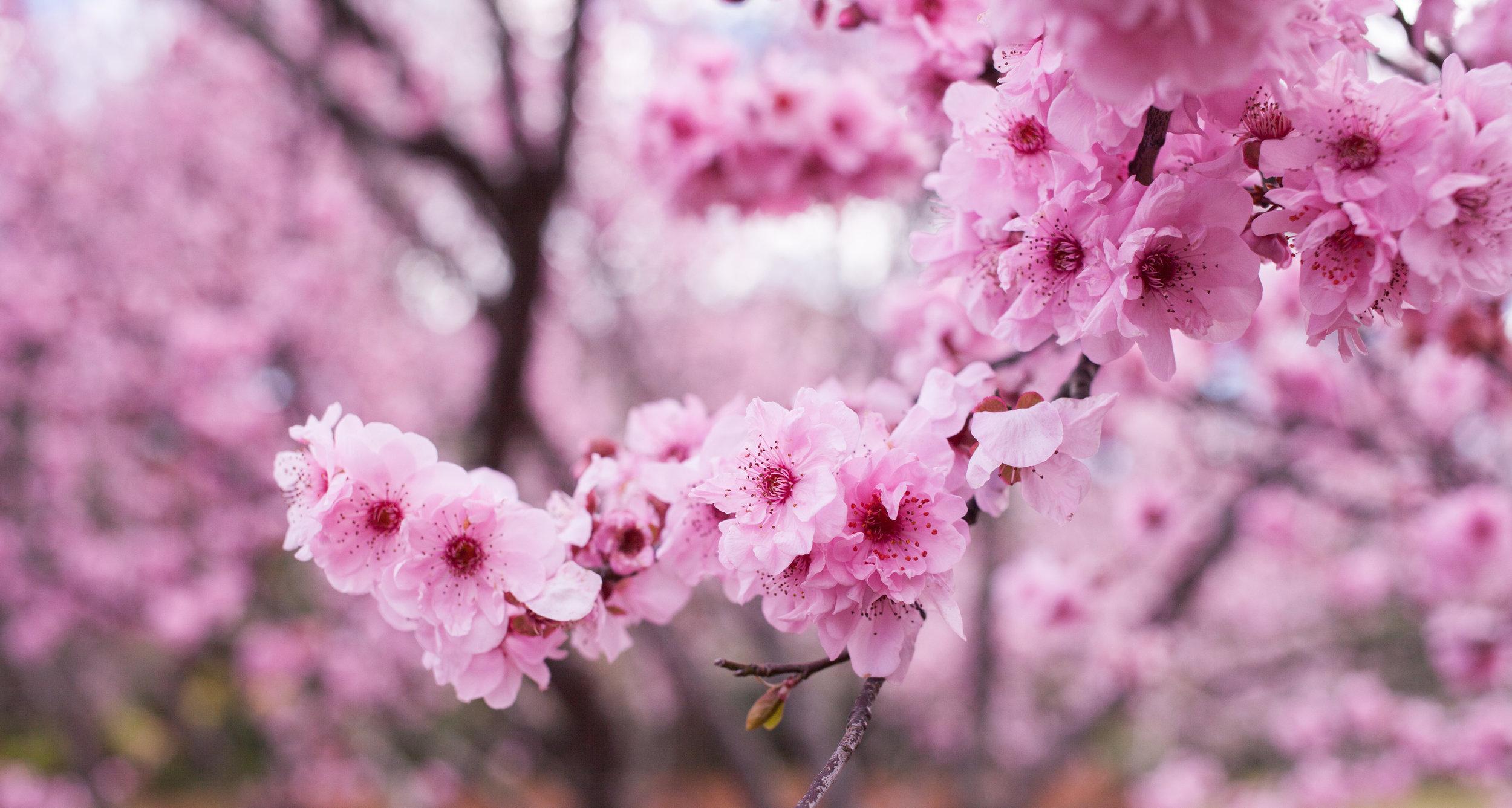 Cherry blossoms-99.jpg
