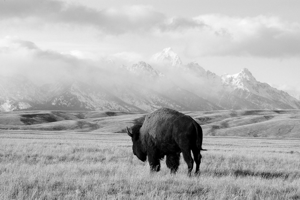 Wyoming Buffalo