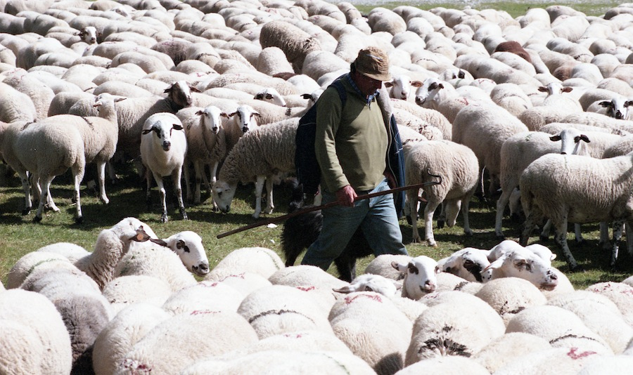 SHEEP AND SHEPARD
