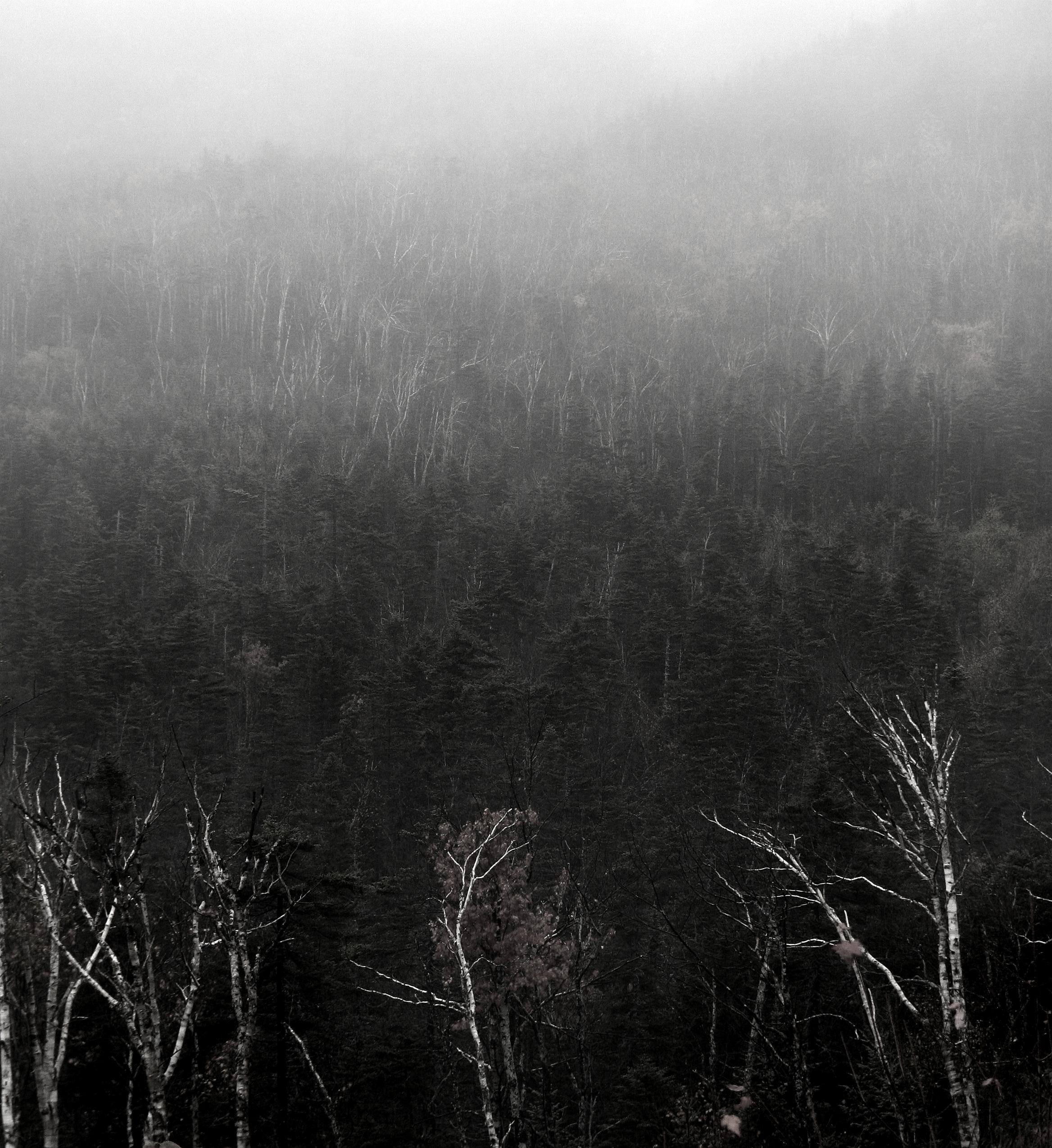 Lone Birch in Fog