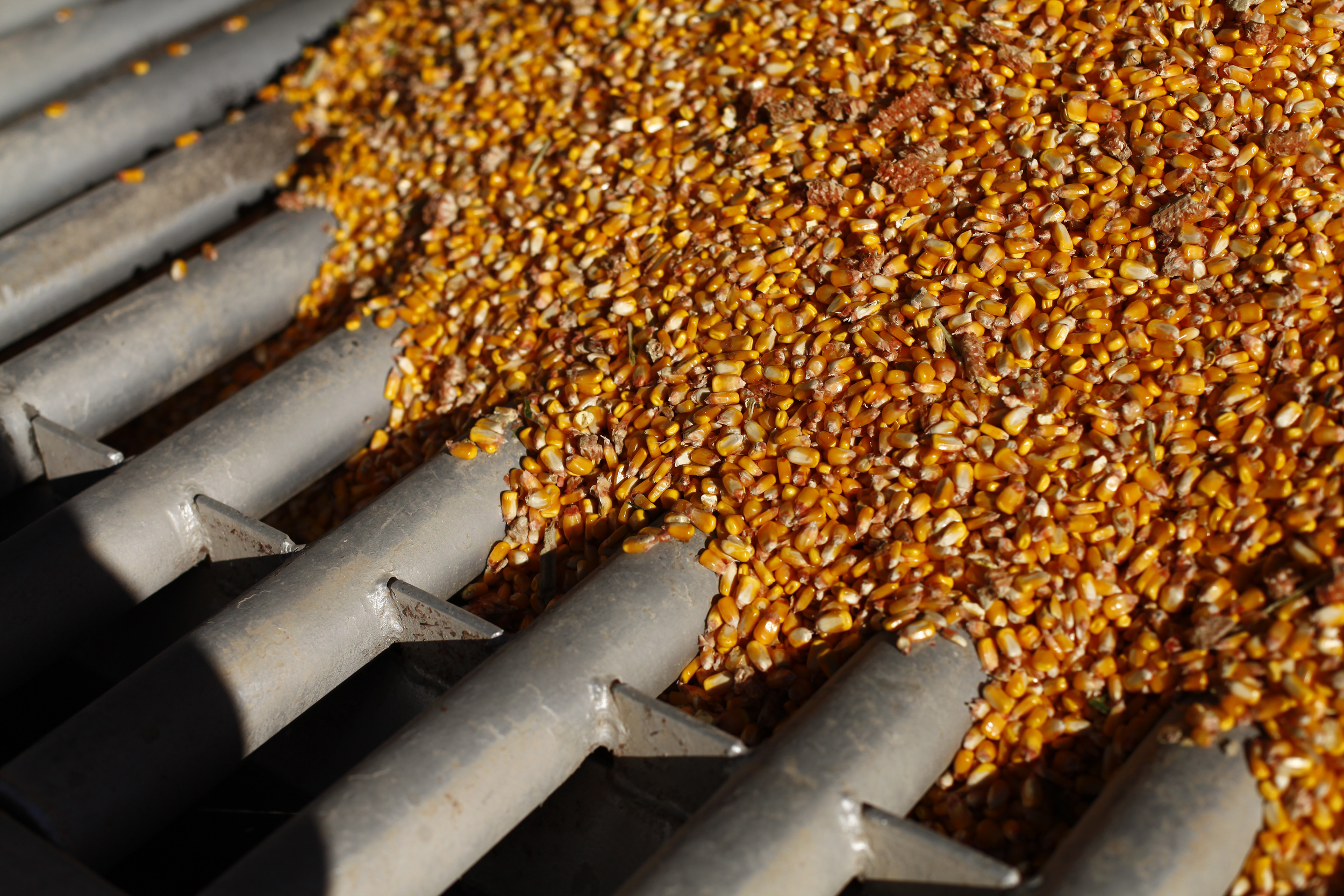 Shelled corn is deposited into a grain drying system.