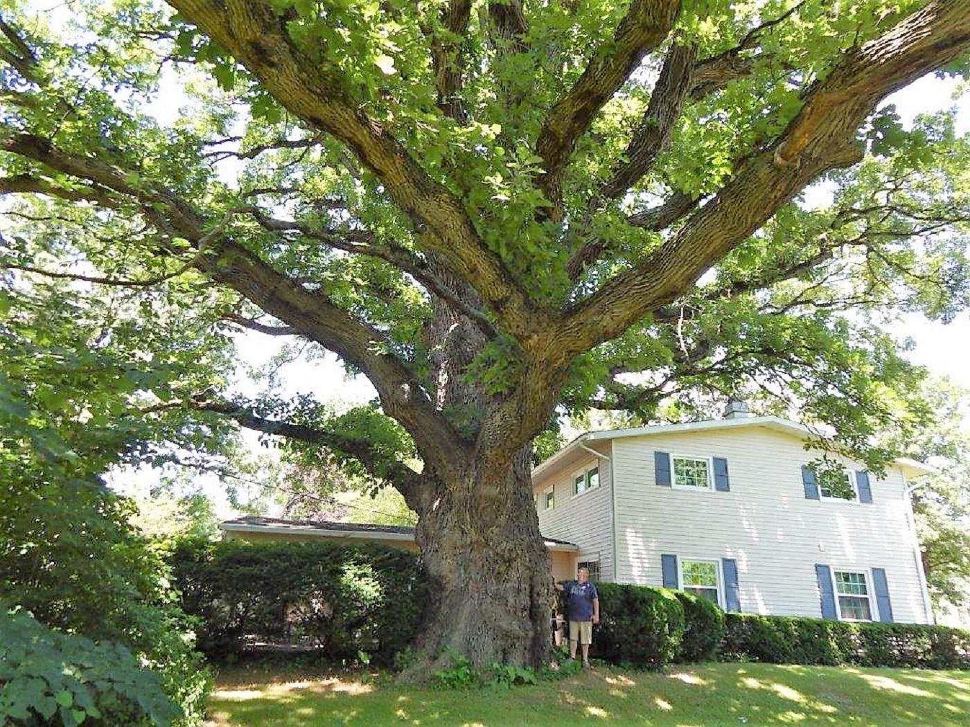 1256-Quercus-macrocarpa-2r.png