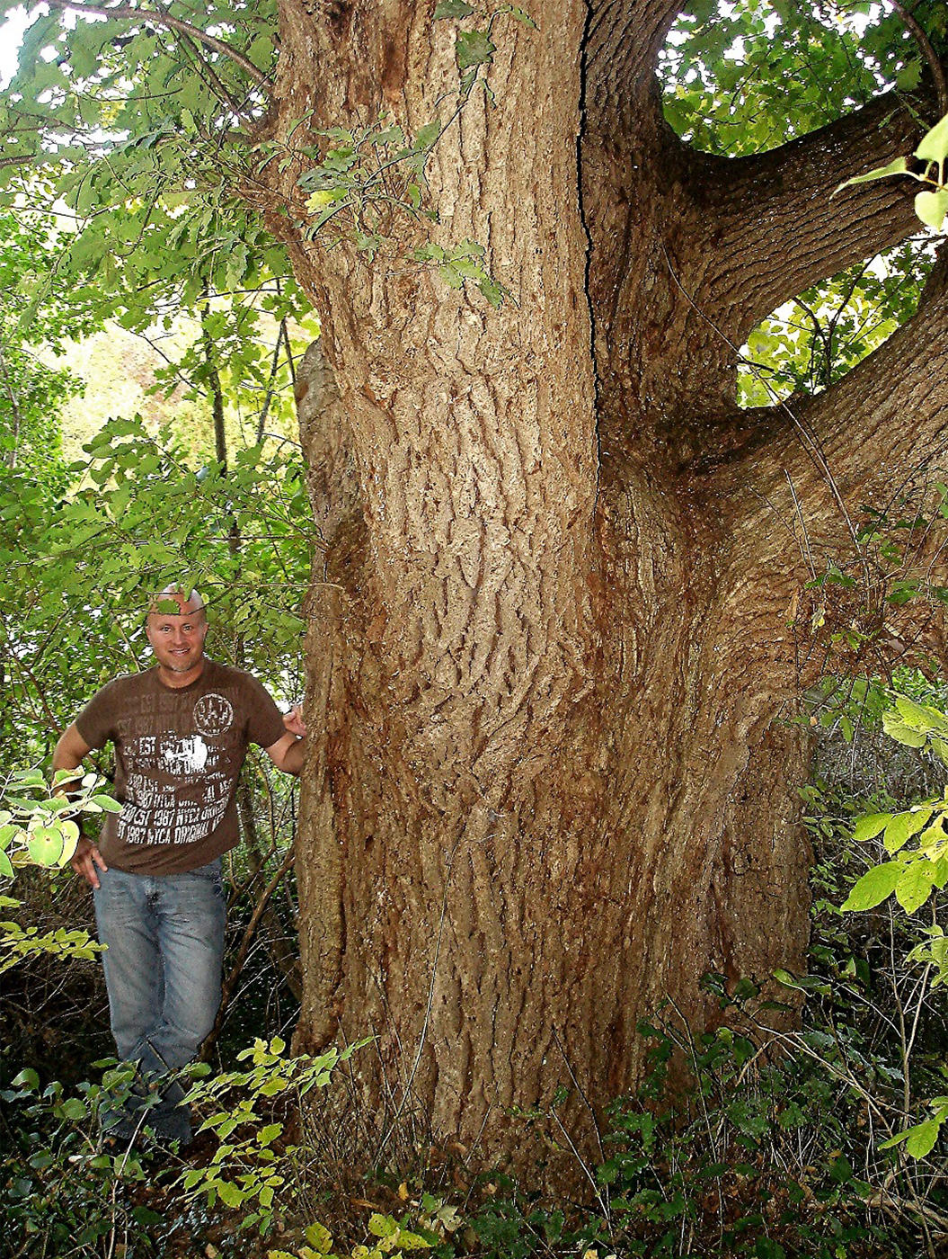 1280-Quercus-robur-r.png