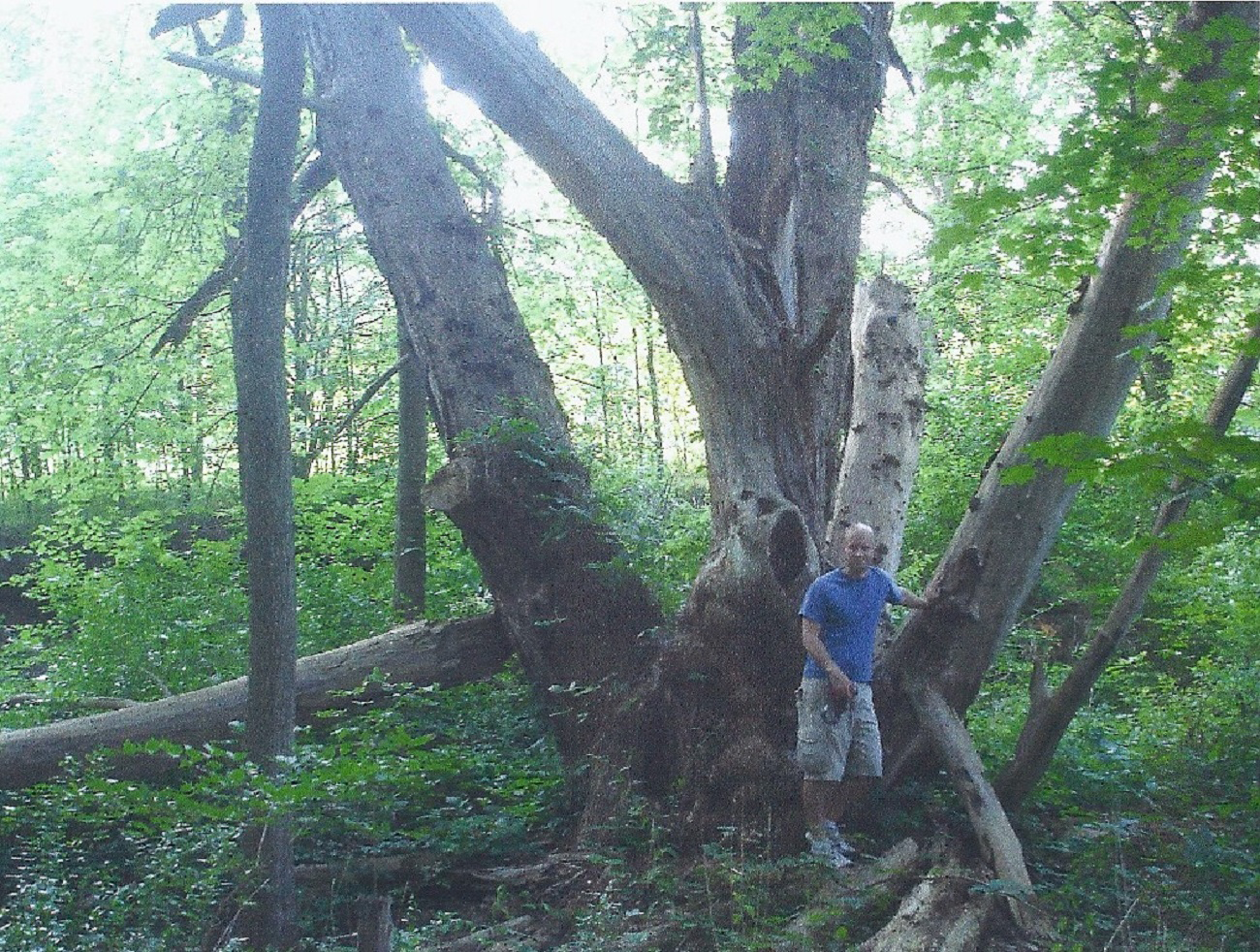 1327-Salix-fragilis-r.png