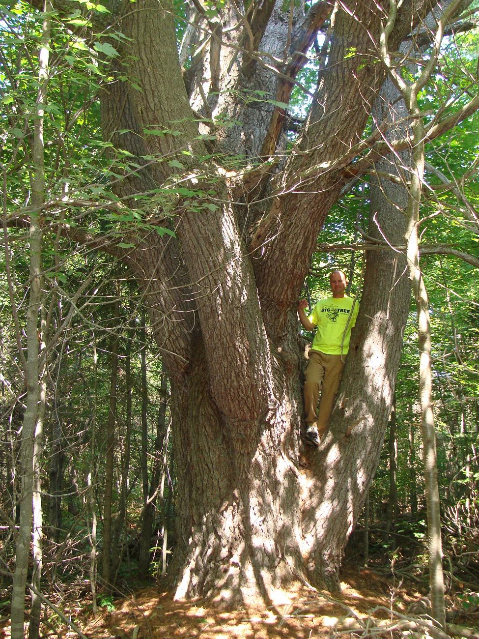 1345-Pinus-strobus-2r.png
