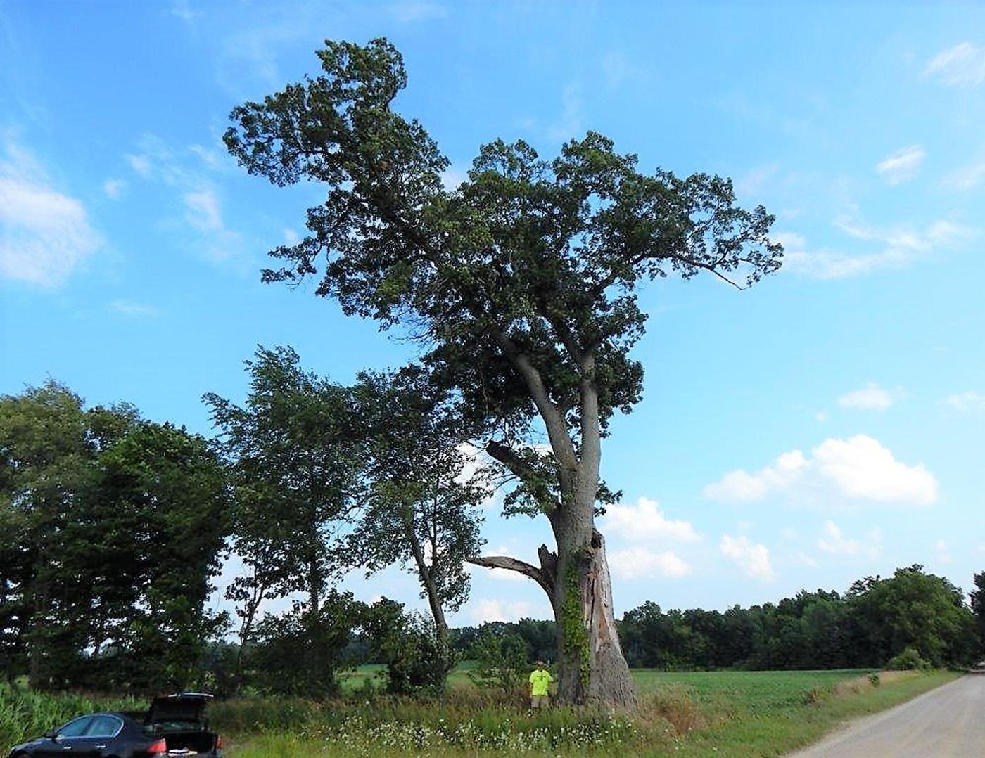 1387-Quercus-velutina-3r.png