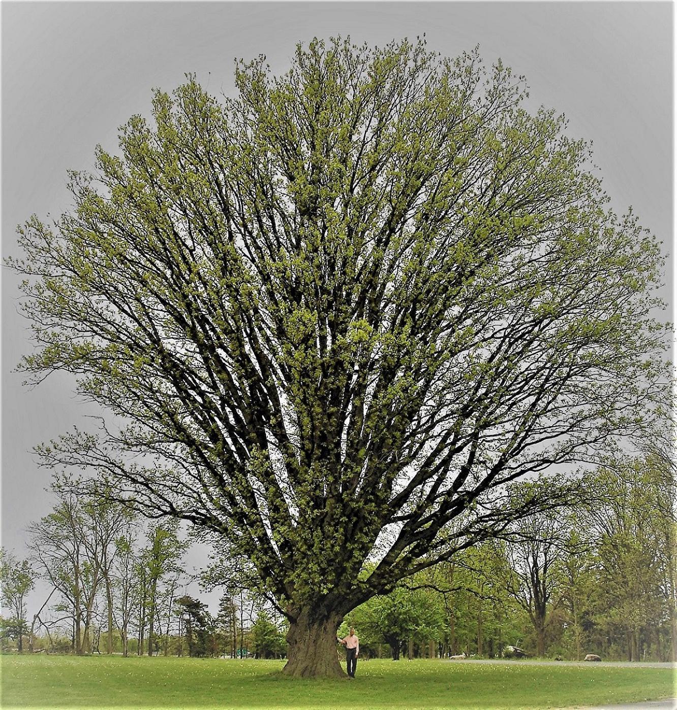 1391-Quercus-macrocarpa-X-Quercus-alba-3r.png