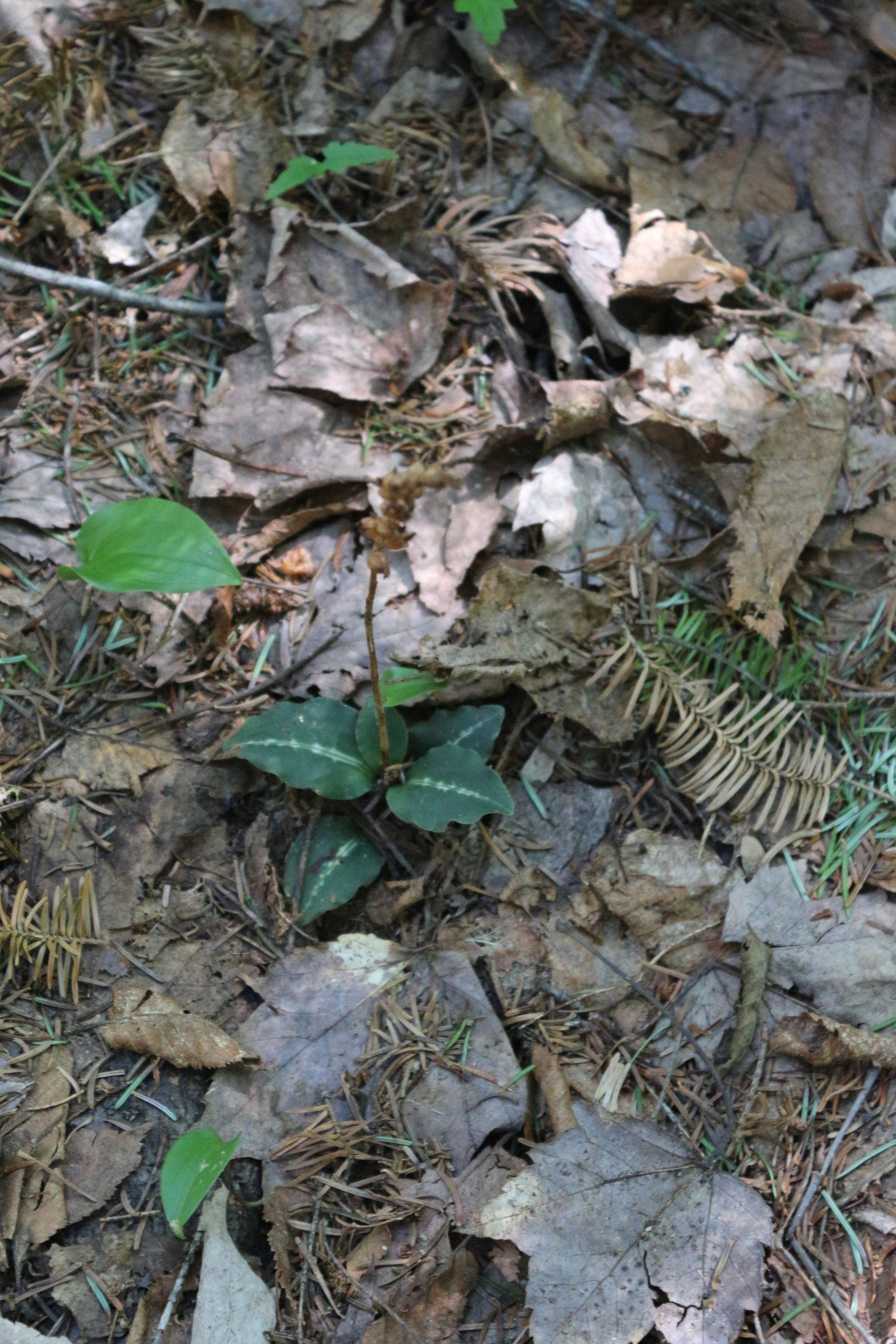 Goodyear oblongifolia