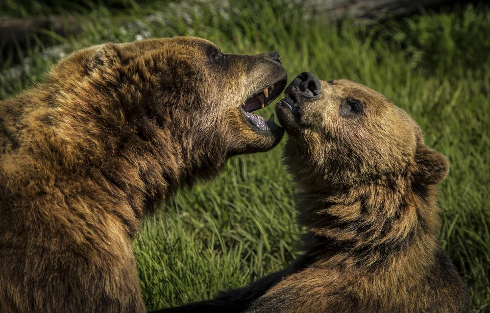 bear fight.jpg