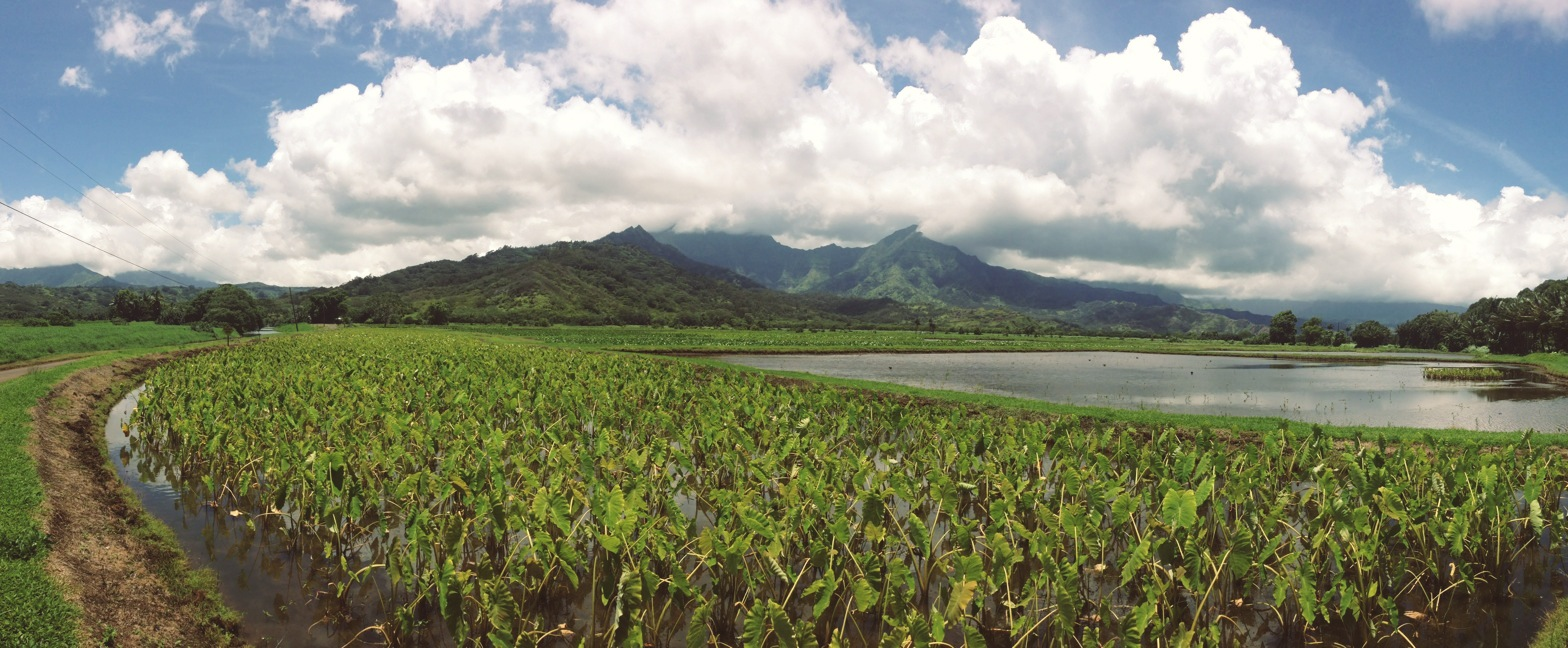 Field near Hanalei Bay on the island of Kauai. Princeville, HI