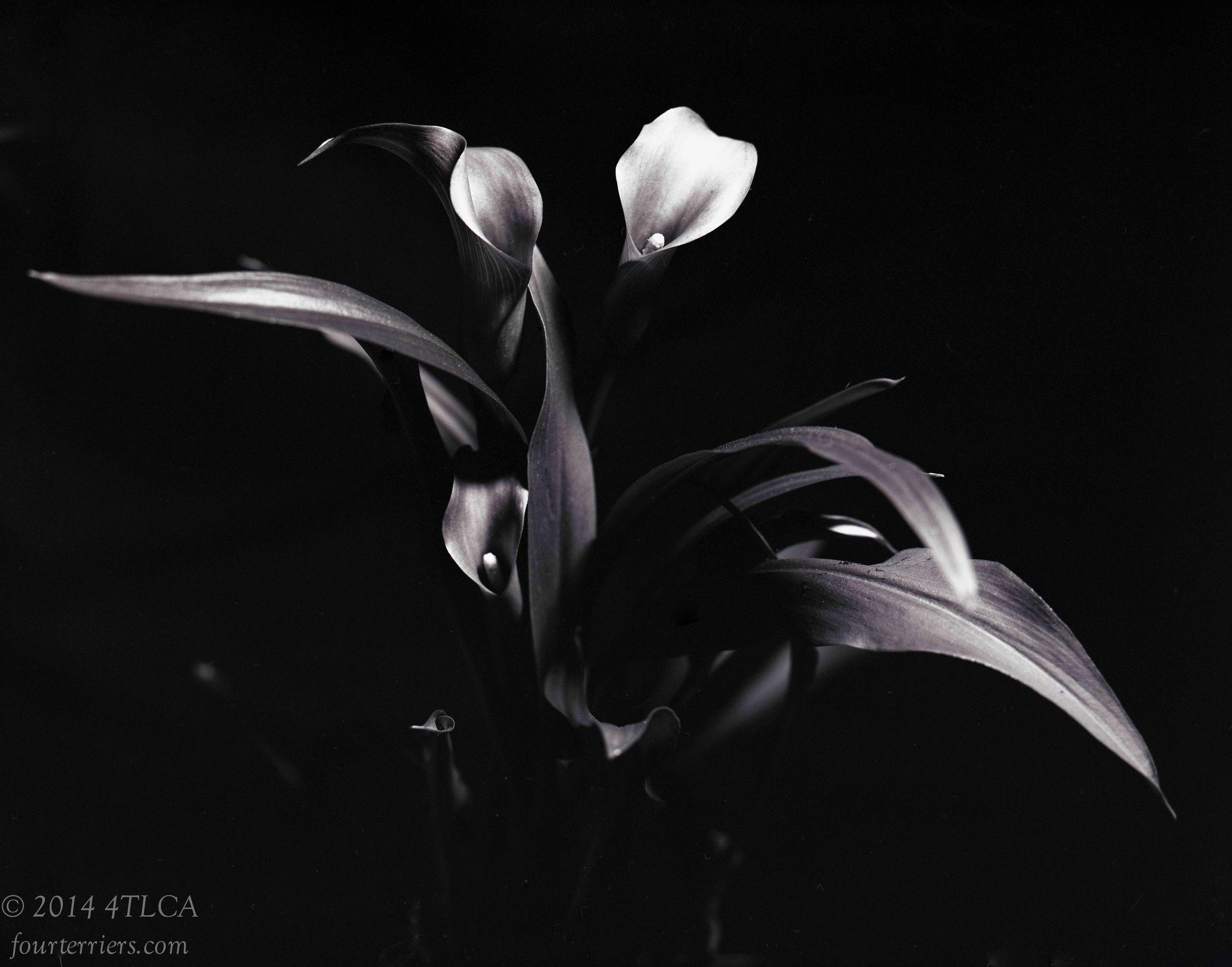 Callas in Black and White