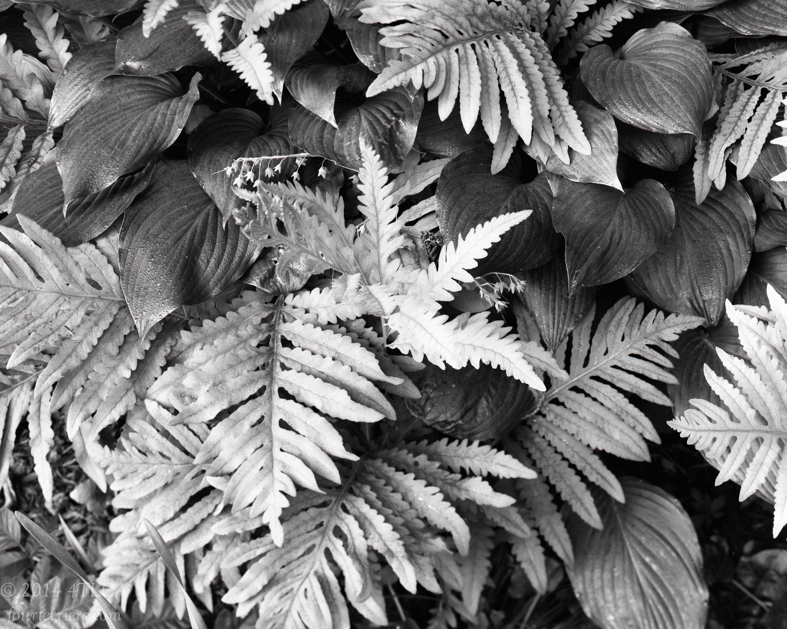 Ferns and Hostas