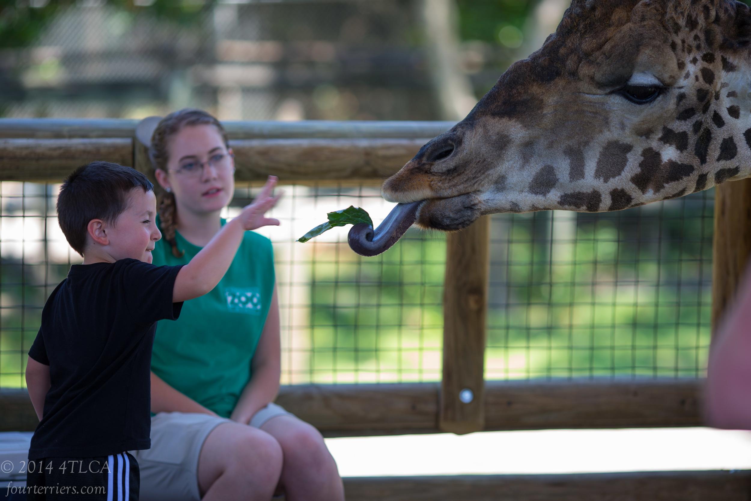Feeding the Giraffe, Knoxville Zoo