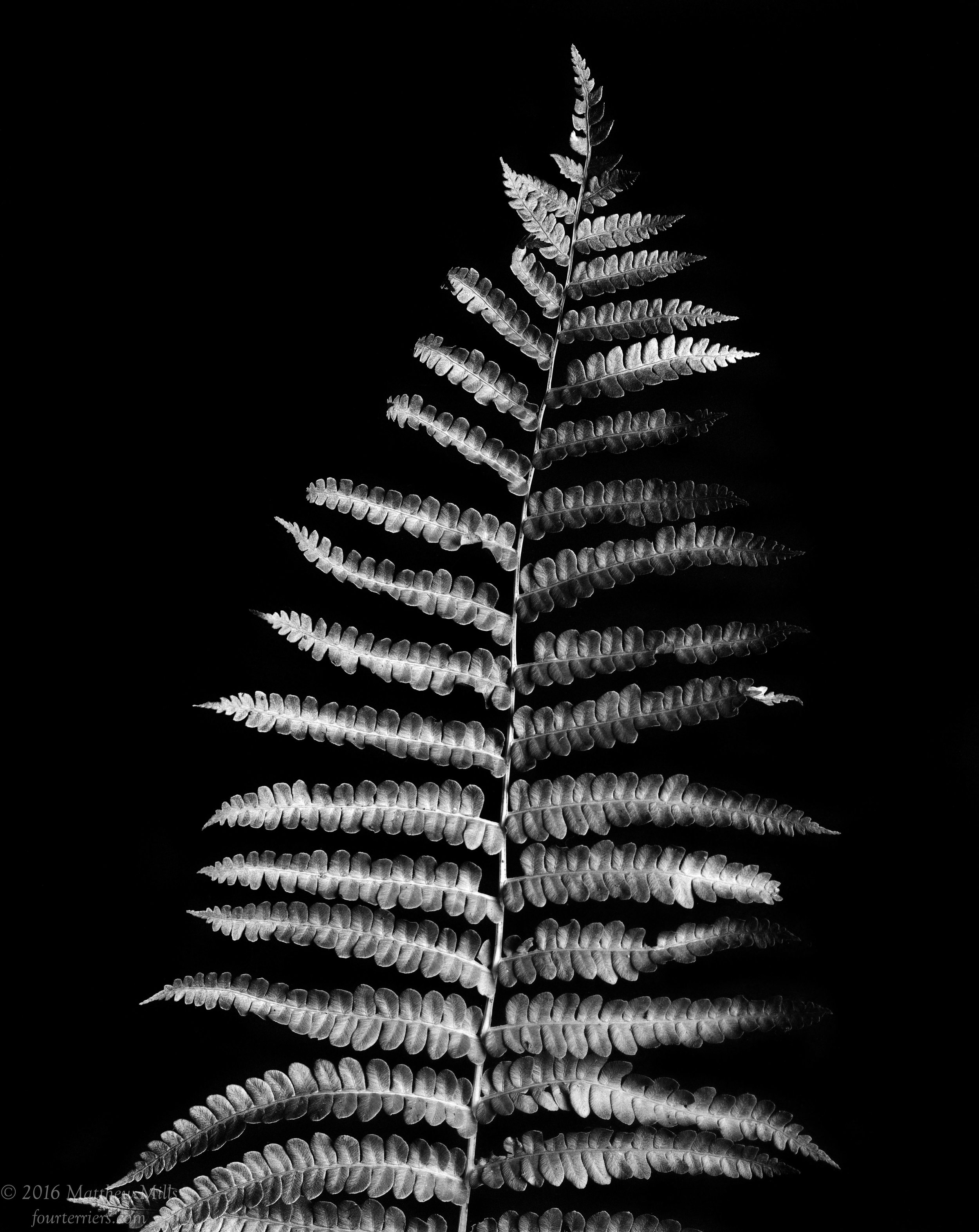 Monochrome Fern 4