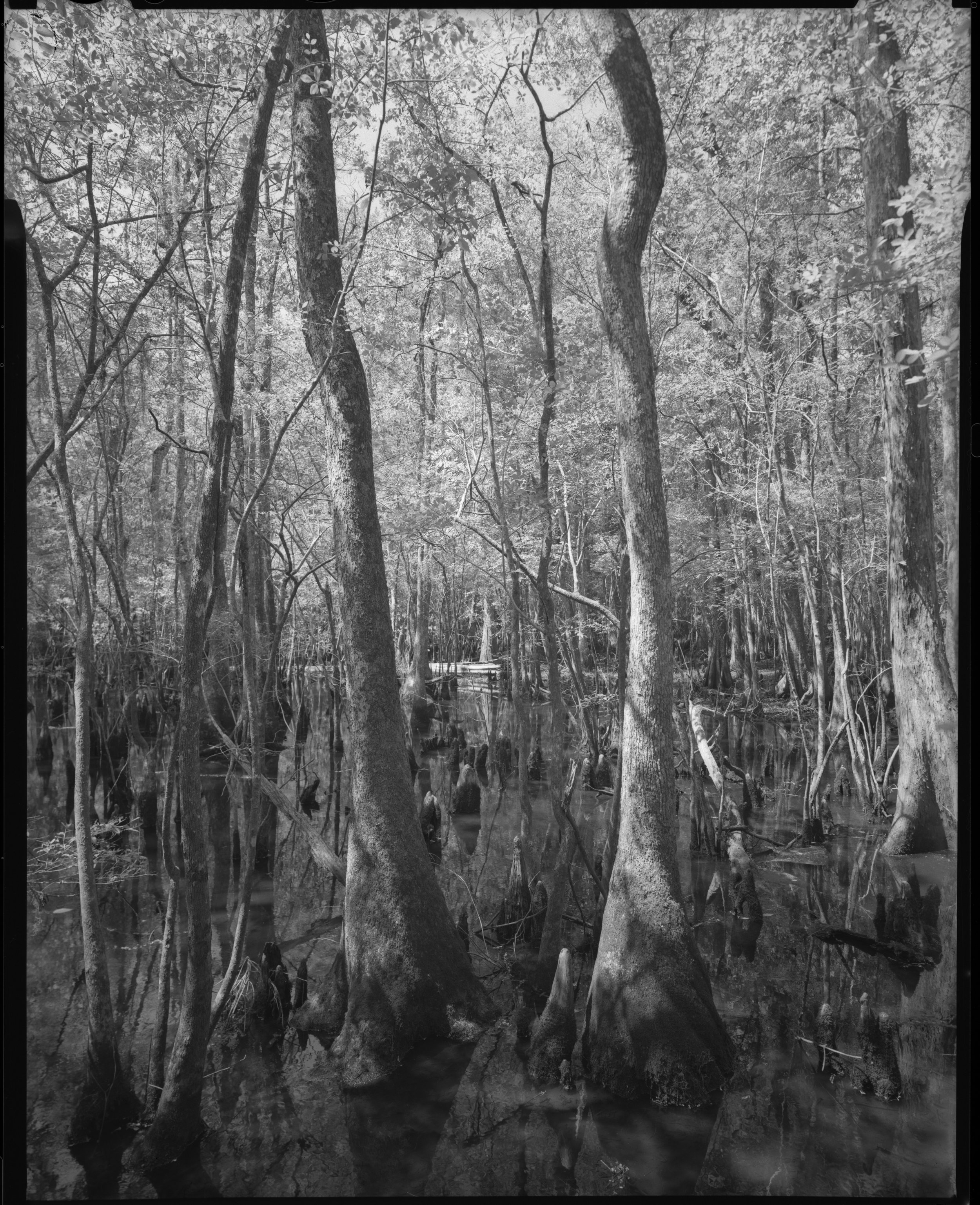 Francis Beidler Swamp 1
