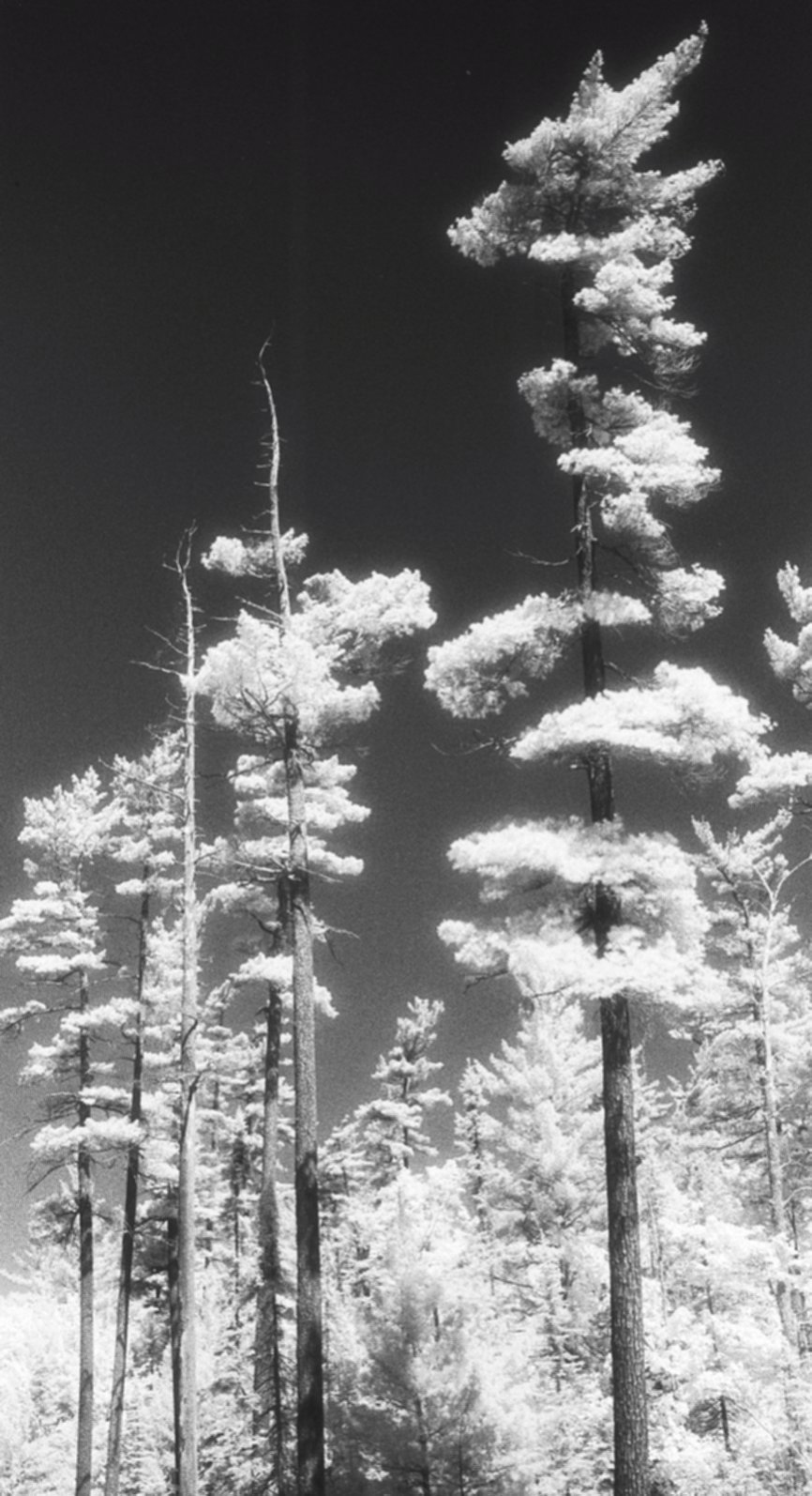 Old-Growth White Pine