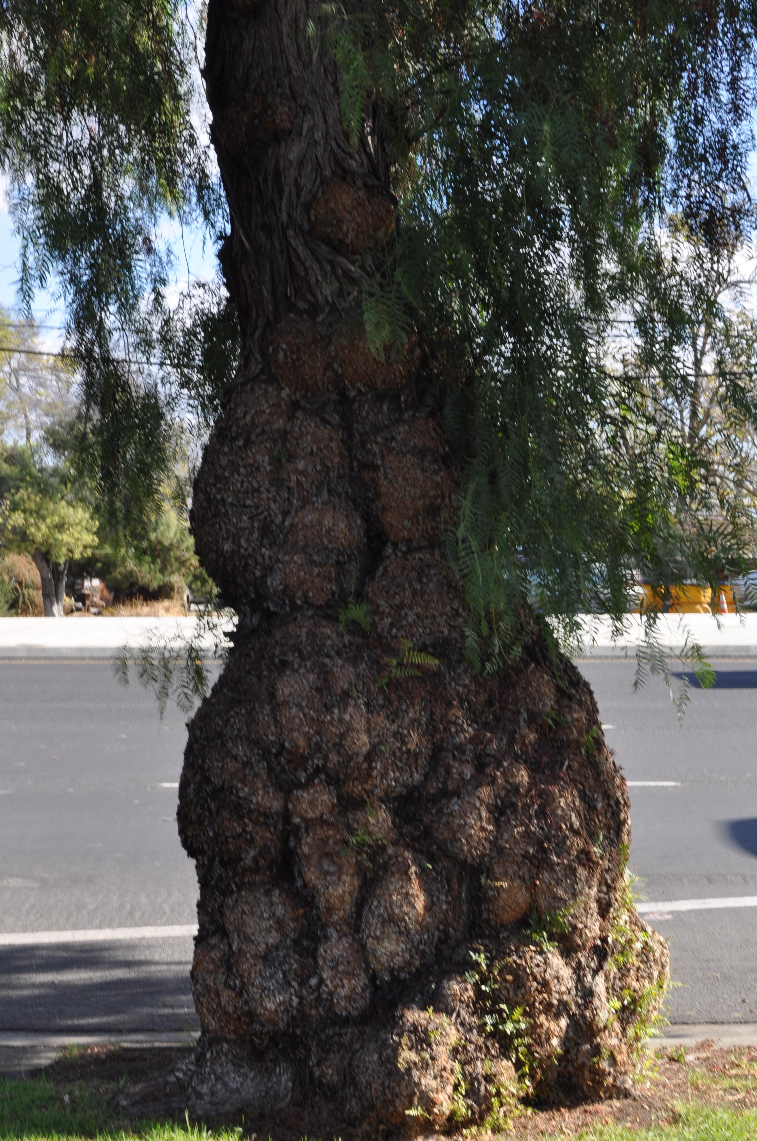 Peruvian Pepper Tree