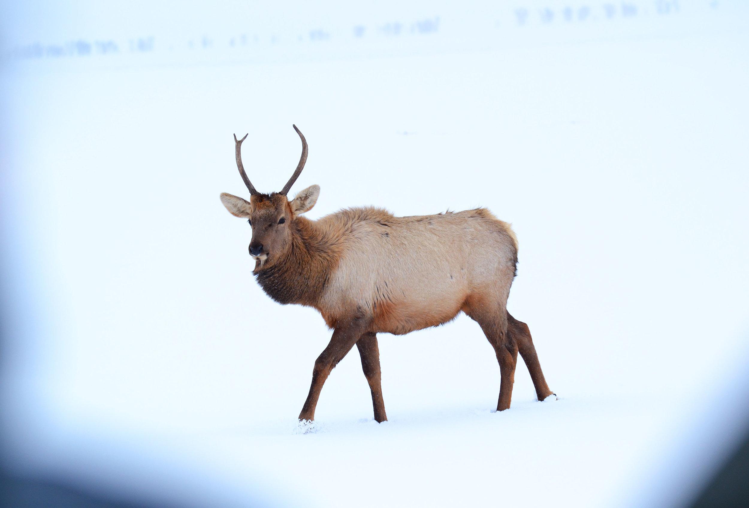 One of several hundred elk on the National Elk Refuge in Jackson, Wyoming.