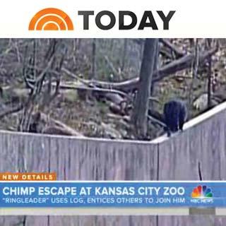 chimps-escape-kansas-city-zoo-today-show