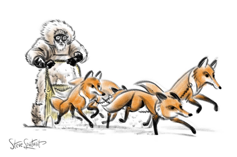 Arctic foxes.