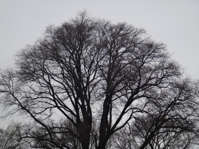 Melb tree 1.jpg