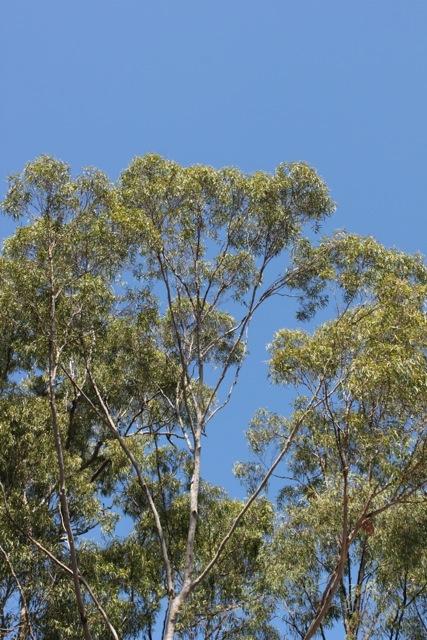 Gumtrees.jpg